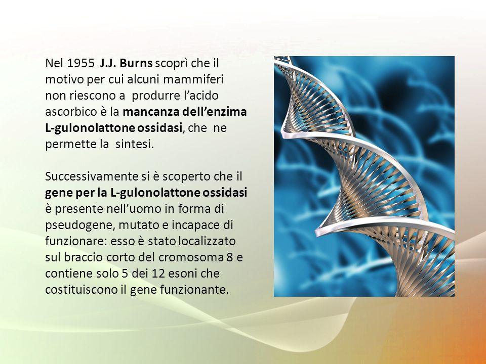Nel 1955 J.J. Burns scoprì che il motivo per cui alcuni mammiferi non riescono a produrre lacido ascorbico è la mancanza dellenzima L-gulonolattone os