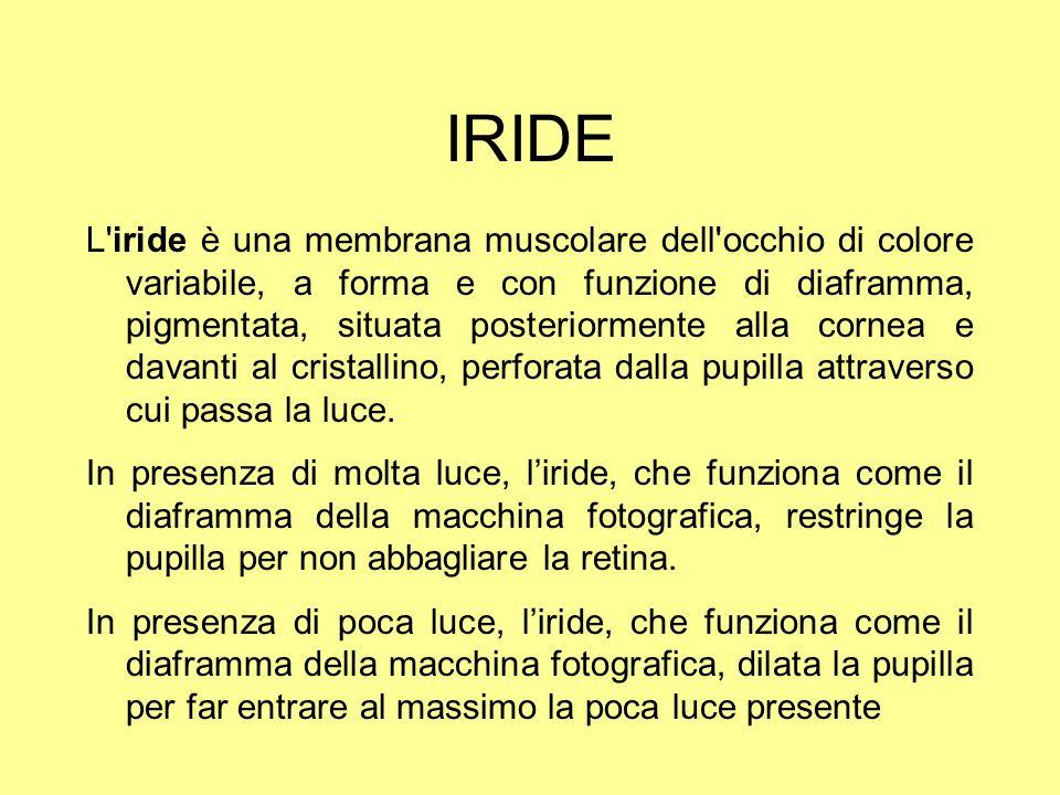 IRIDE L'iride è una membrana muscolare dell'occhio di colore variabile, a forma e con funzione di diaframma, pigmentata, situata posteriormente alla c