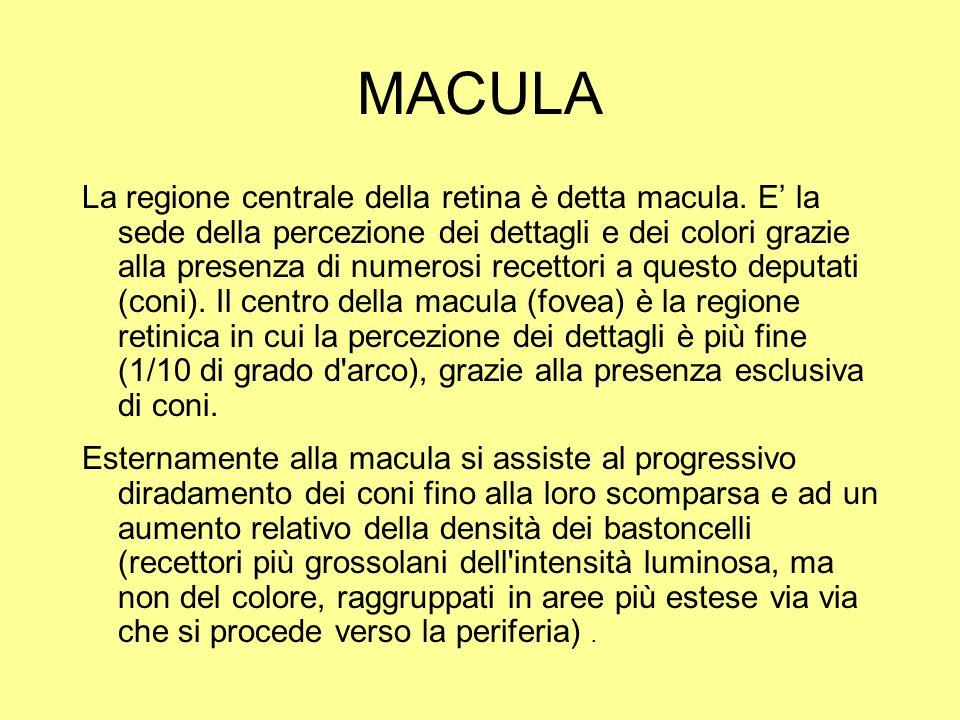 MACULA La regione centrale della retina è detta macula. E la sede della percezione dei dettagli e dei colori grazie alla presenza di numerosi recettor
