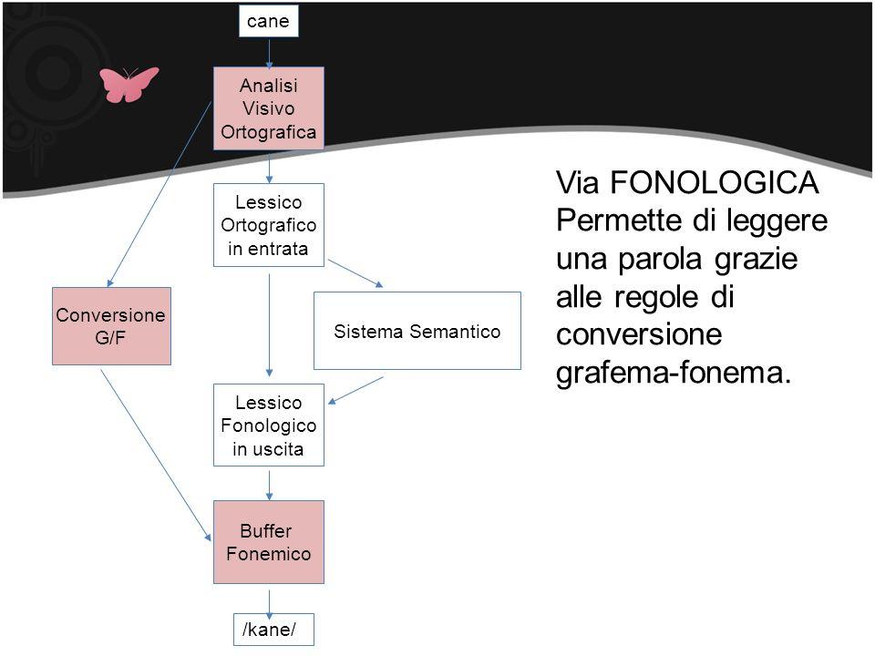 Sistema Semantico Lessico Ortografico in entrata Conversione G/F cane /kane/ Lessico Fonologico in uscita Analisi Visivo Ortografica Buffer Fonemico V