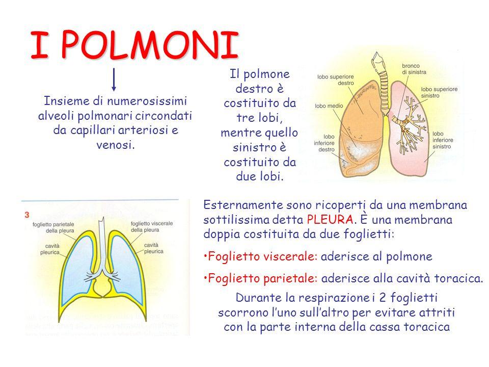 I POLMONI Insieme di numerosissimi alveoli polmonari circondati da capillari arteriosi e venosi. Il polmone destro è costituito da tre lobi, mentre qu