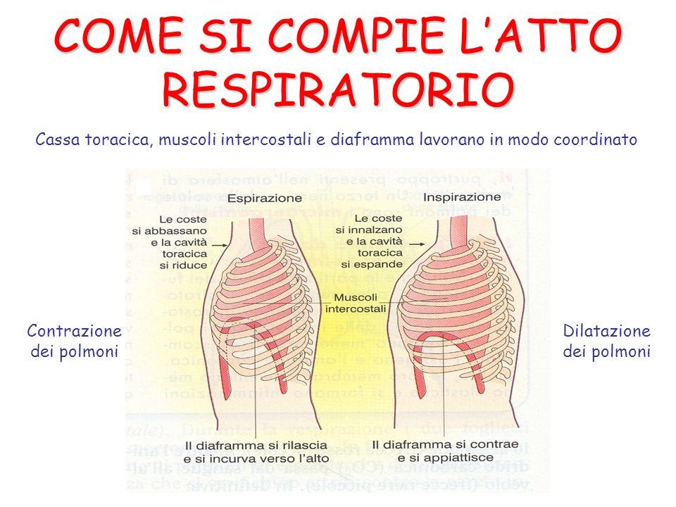 COME SI COMPIE LATTO RESPIRATORIO Contrazione dei polmoni Dilatazione dei polmoni Cassa toracica, muscoli intercostali e diaframma lavorano in modo co