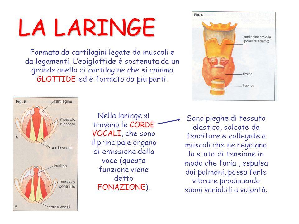 LA LARINGE Formata da cartilagini legate da muscoli e da legamenti. Lepiglottide è sostenuta da un grande anello di cartilagine che si chiama GLOTTIDE
