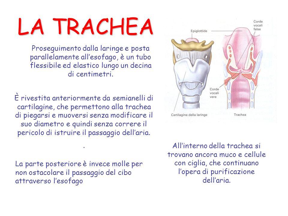 LA TRACHEA Proseguimento dalla laringe e posta parallelamente allesofago, è un tubo flessibile ed elastico lungo un decina di centimetri.