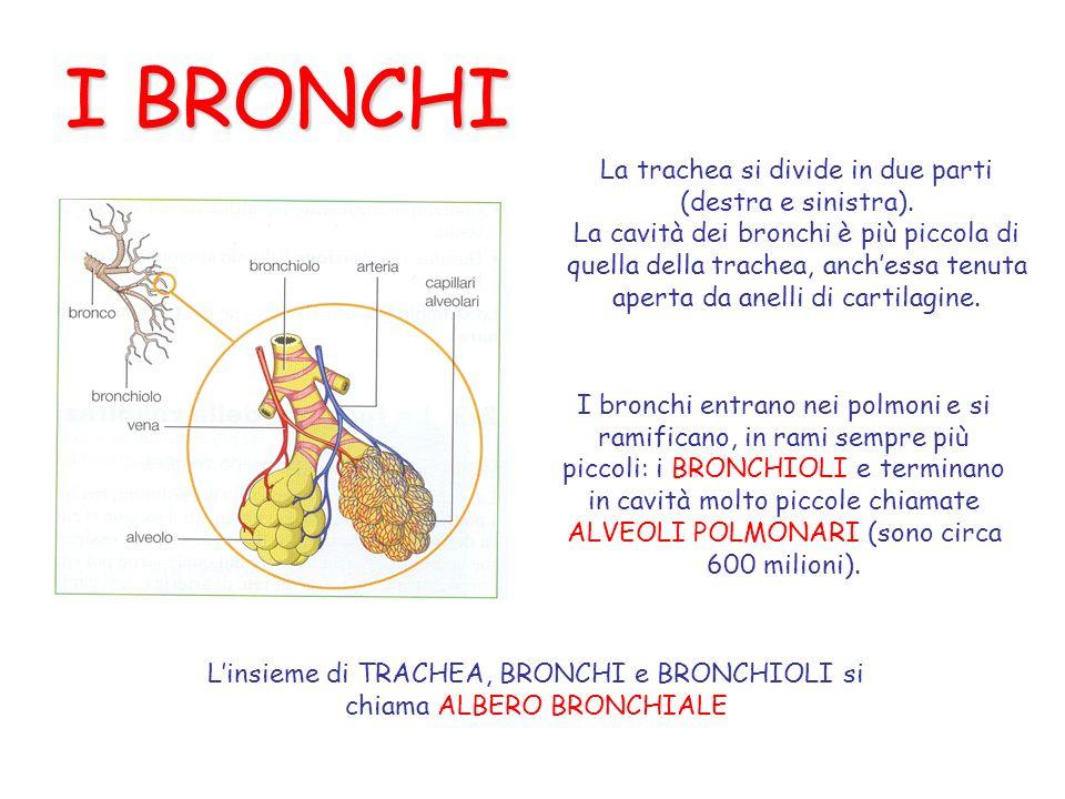 I BRONCHI La trachea si divide in due parti (destra e sinistra). La cavità dei bronchi è più piccola di quella della trachea, anchessa tenuta aperta d
