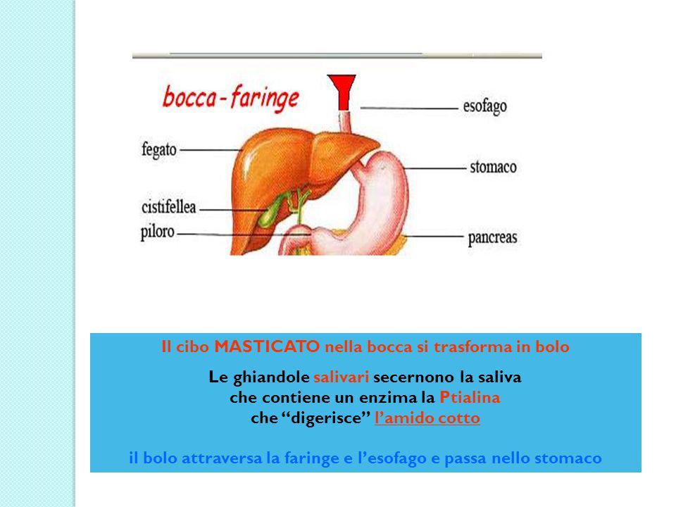 Il bolo entra attraverso il cardias nello stomaco dove si trasforma in chimo inizia la digestione delle proteine in polipeptidi mediante lenzima pepsina i lipidi rimangono inalterati il chimo passa nel duodeno attraversando il piloro Proteine + pepsina >>> polipeptidi