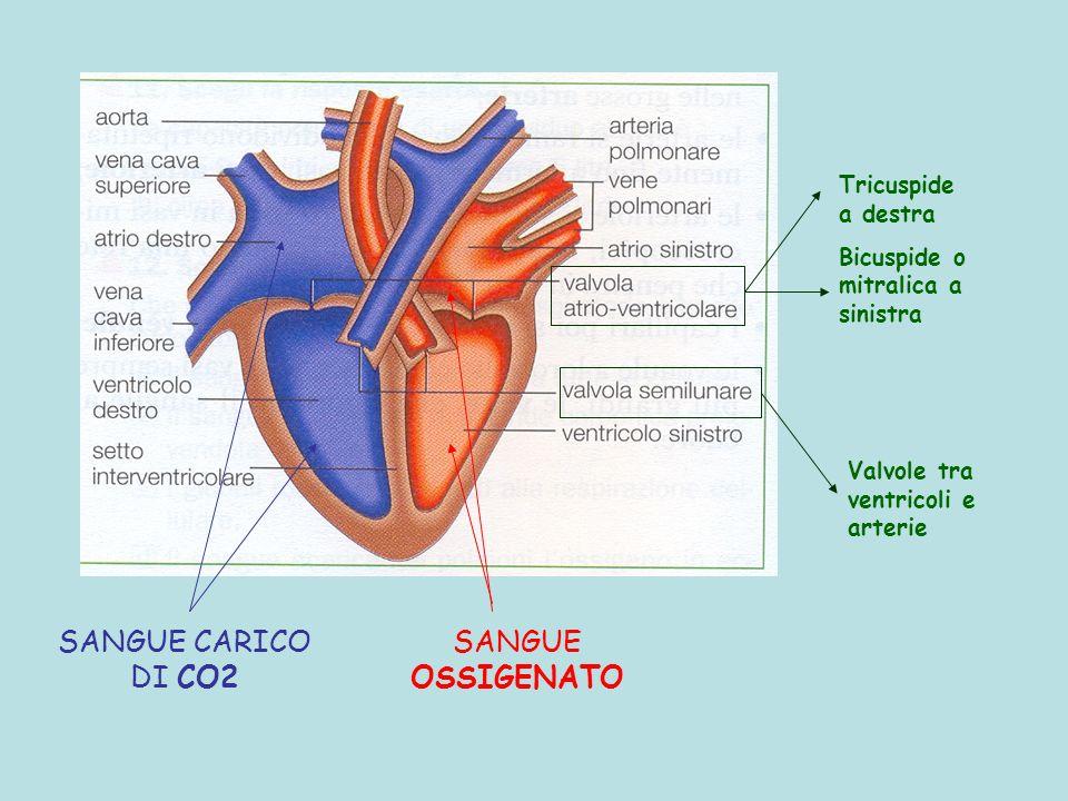 SANGUE OSSIGENATO SANGUE CARICO DI CO2 Tricuspide a destra Bicuspide o mitralica a sinistra Valvole tra ventricoli e arterie