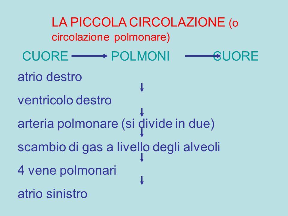LA PICCOLA CIRCOLAZIONE (o circolazione polmonare) CUORE POLMONI CUORE atrio destro ventricolo destro arteria polmonare (si divide in due) scambio di gas a livello degli alveoli 4 vene polmonari atrio sinistro