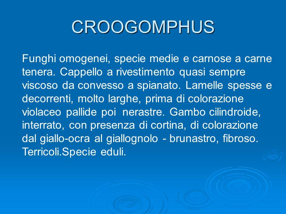 CROOGOMPHUS Funghi omogenei, specie medie e carnose a carne tenera. Cappello a rivestimento quasi sempre viscoso da convesso a spianato. Lamelle spess