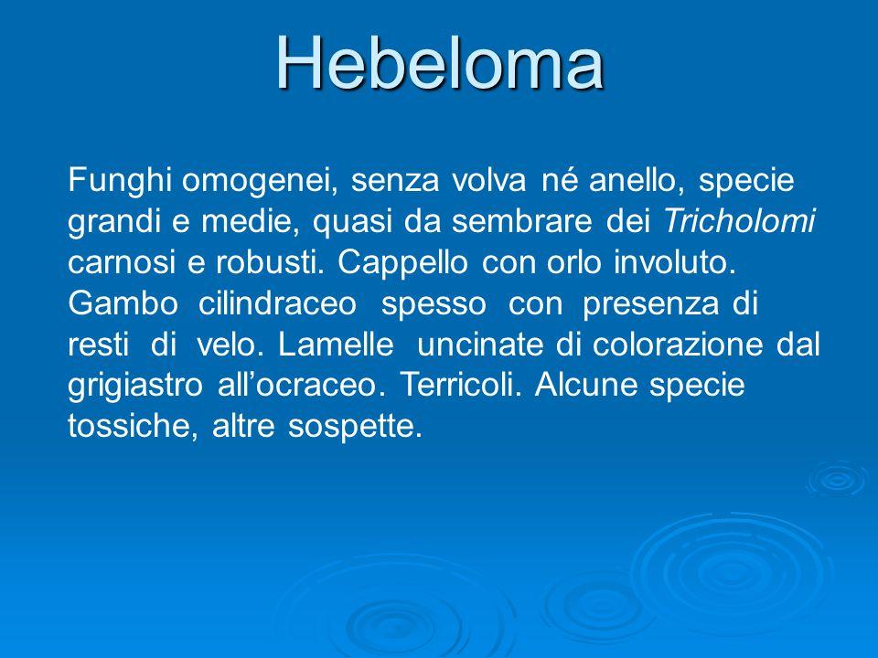 Hebeloma Funghi omogenei, senza volva né anello, specie grandi e medie, quasi da sembrare dei Tricholomi carnosi e robusti. Cappello con orlo involuto