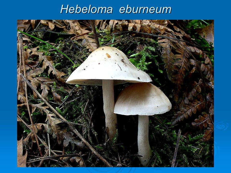 Hebeloma eburneum