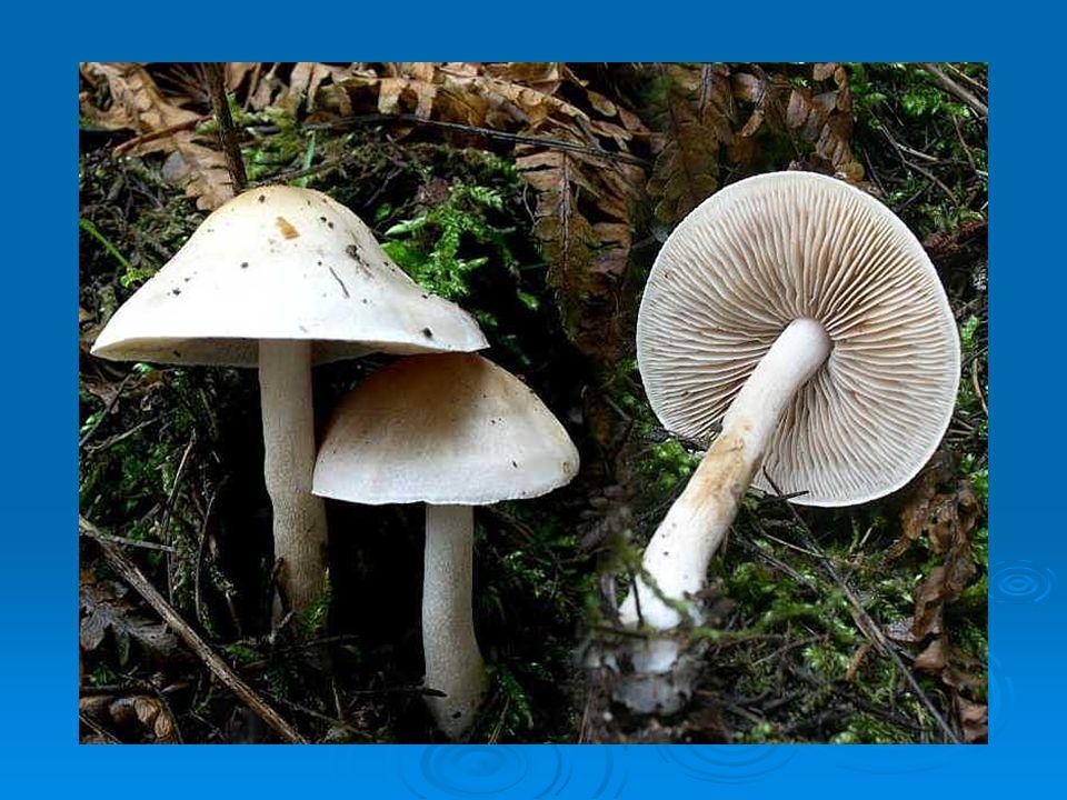Cortinarius Funghi omogenei, senza volva né anello, ma con presenza di cortina sul gambo molto visibile nei soggetti giovani.