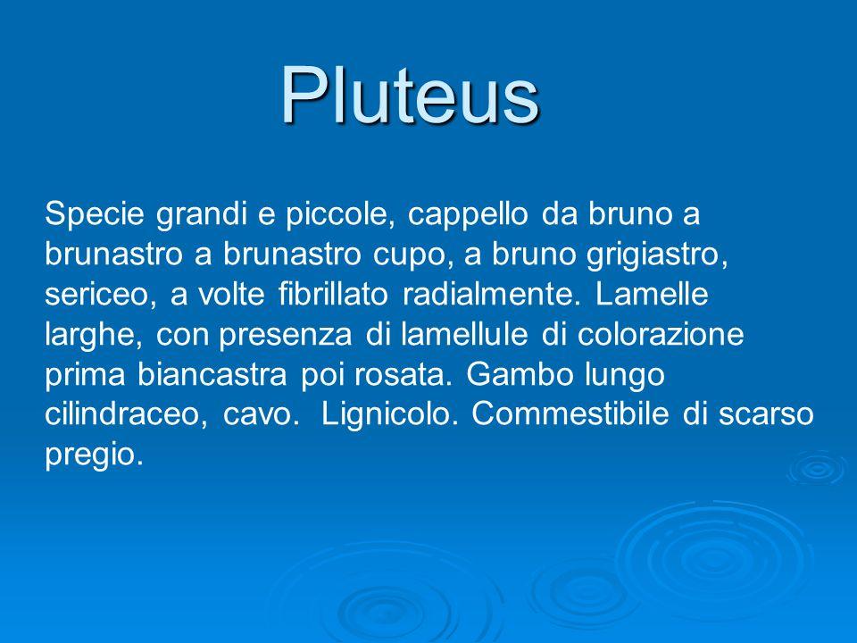 Pluteus Specie grandi e piccole, cappello da bruno a brunastro a brunastro cupo, a bruno grigiastro, sericeo, a volte fibrillato radialmente. Lamelle
