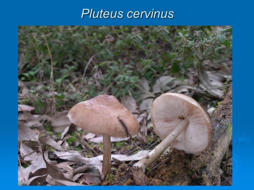 Pluteus cervinus