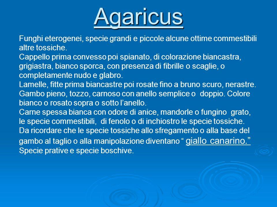 Agaricus Funghi eterogenei, specie grandi e piccole alcune ottime commestibili altre tossiche. Cappello prima convesso poi spianato, di colorazione bi