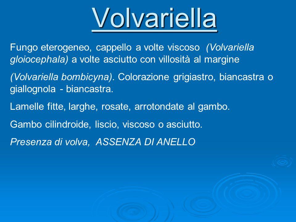 Volvariella Fungo eterogeneo, cappello a volte viscoso (Volvariella gloiocephala) a volte asciutto con villosità al margine (Volvariella bombicyna). C