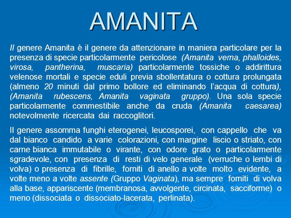AMANITA Il genere Amanita è il genere da attenzionare in maniera particolare per la presenza di specie particolarmente pericolose (Amanita verna, phal