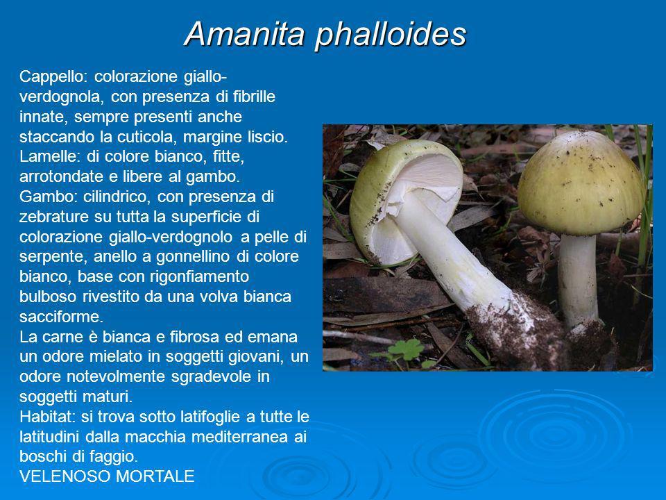 Amanita phalloides Cappello: colorazione giallo- verdognola, con presenza di fibrille innate, sempre presenti anche staccando la cuticola, margine lis