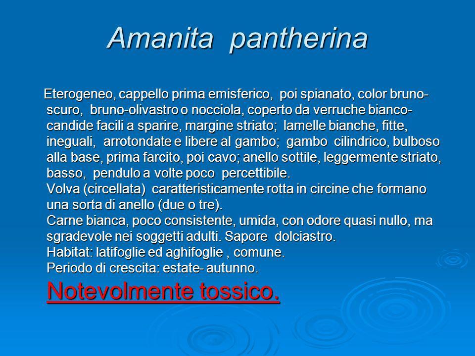 Amanita pantherina Eterogeneo, cappello prima emisferico, poi spianato, color bruno- scuro, bruno-olivastro o nocciola, coperto da verruche bianco- ca