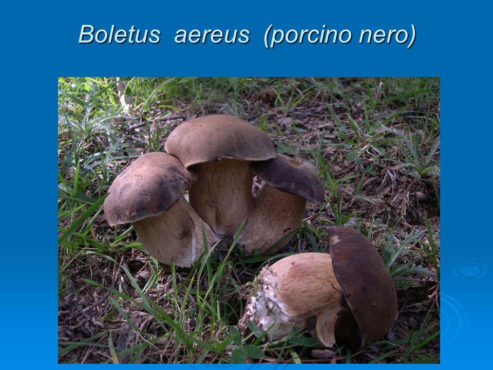 Boletus aereus (porcino nero)
