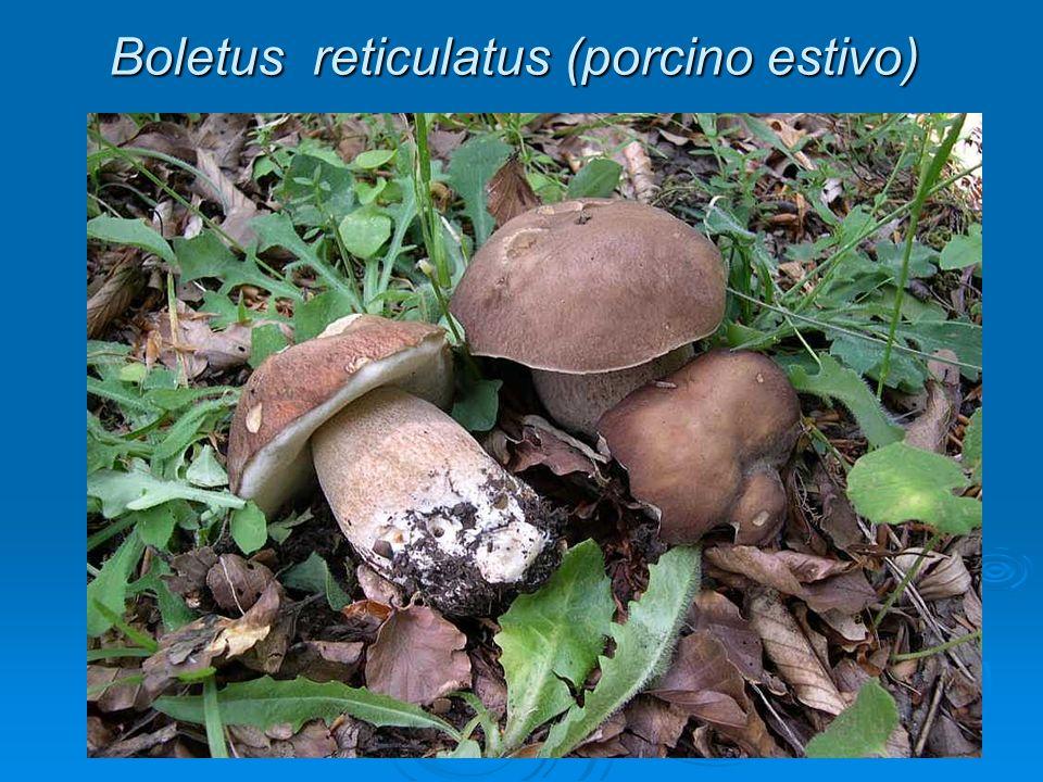 Boletus reticulatus (porcino estivo)