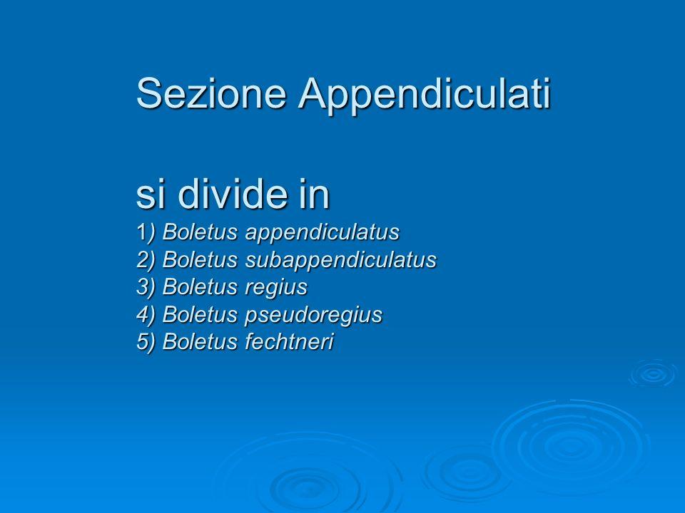 Sezione Appendiculati si divide in 1) Boletus appendiculatus 2) Boletus subappendiculatus 3) Boletus regius 4) Boletus pseudoregius 5) Boletus fechtne
