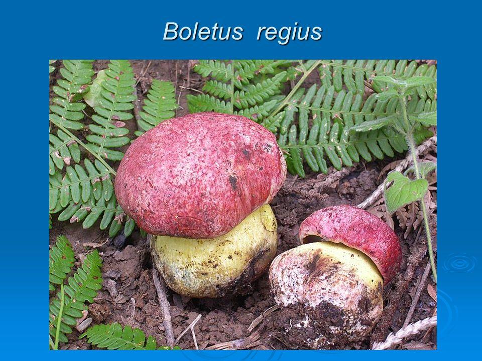 Boletus regius