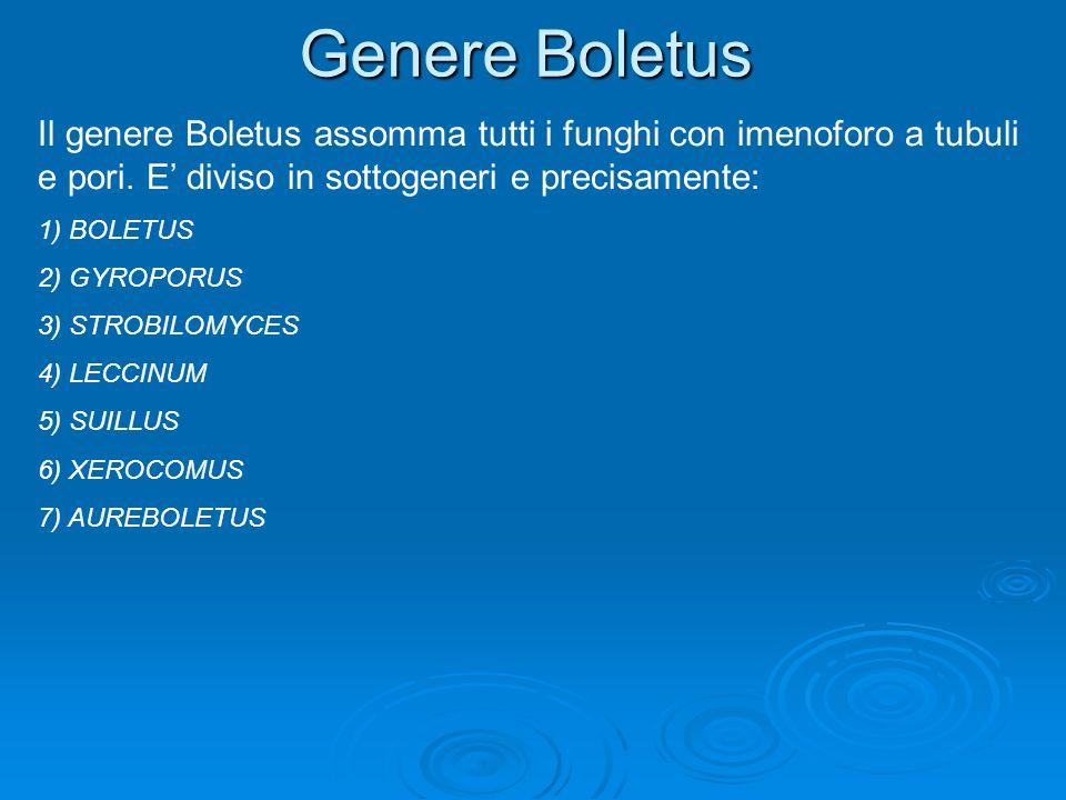 Genere Boletus Il genere Boletus assomma tutti i funghi con imenoforo a tubuli e pori. E diviso in sottogeneri e precisamente: 1) BOLETUS 2) GYROPORUS