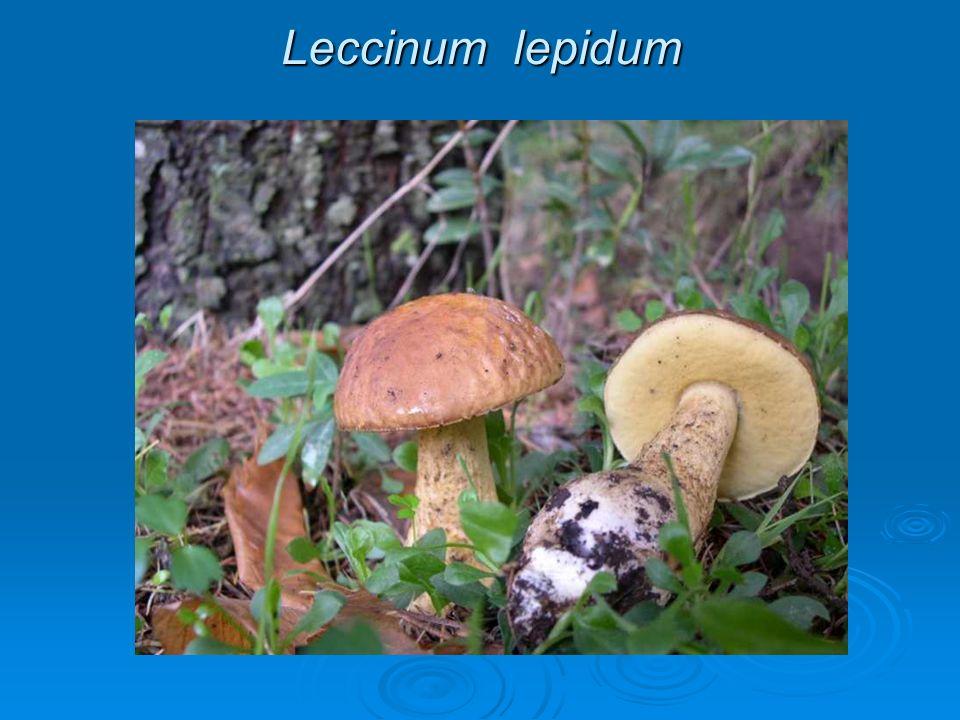 Leccinum lepidum