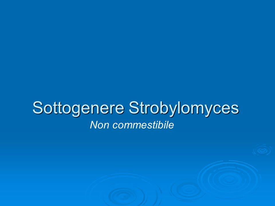 Sottogenere Strobylomyces Non commestibile