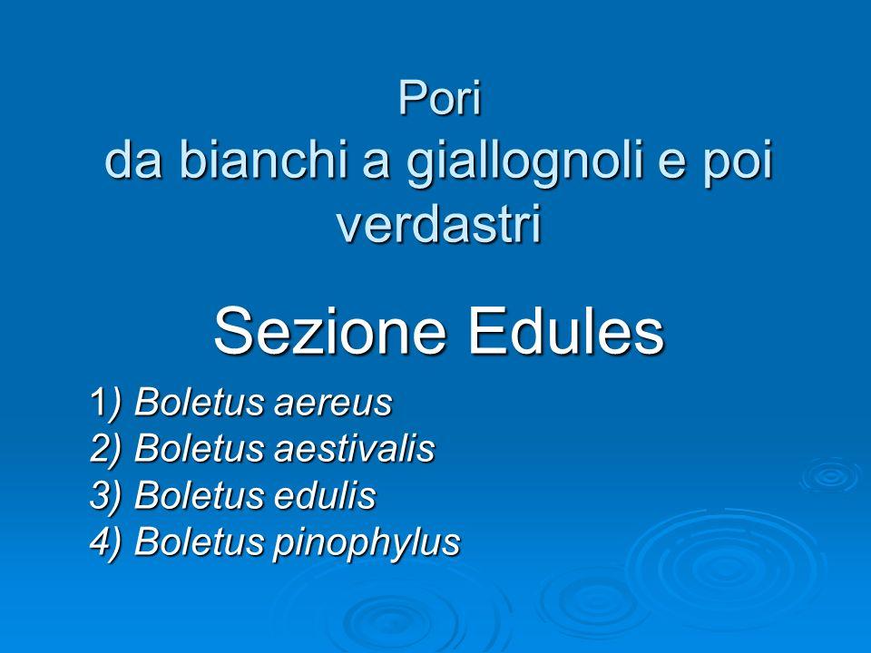 Pori da bianchi a giallognoli e poi verdastri Sezione Edules 1) Boletus aereus 2) Boletus aestivalis 3) Boletus edulis 4) Boletus pinophylus