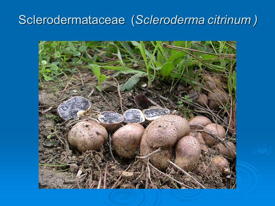 Sclerodermataceae (Scleroderma citrinum )