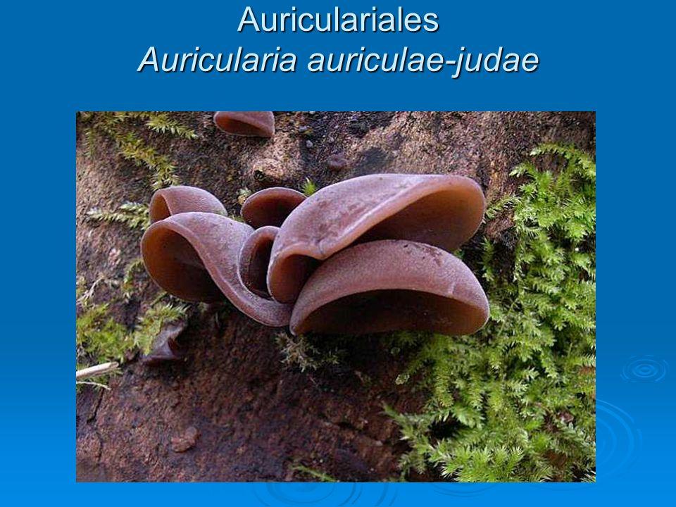 Auriculariales Auricularia auriculae-judae