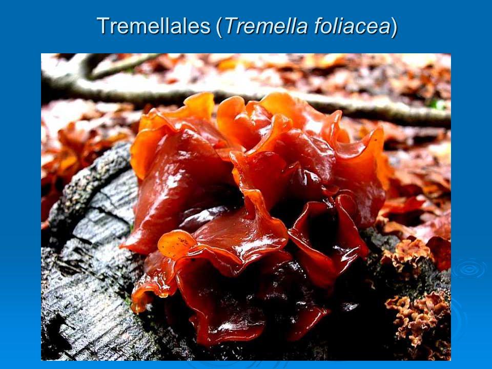 Tremellales (Tremella foliacea)