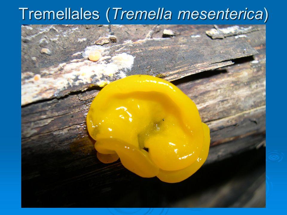 Tremellales (Tremella mesenterica)