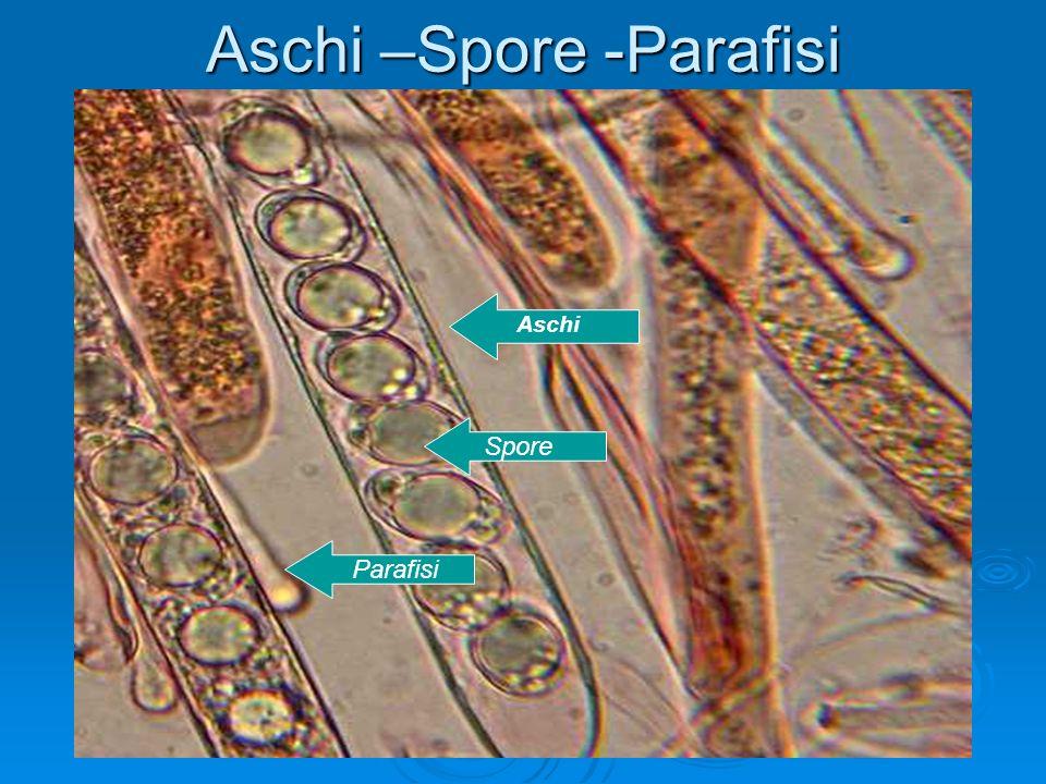 Aschi –Spore -Parafisi Aschi Spore Parafisi