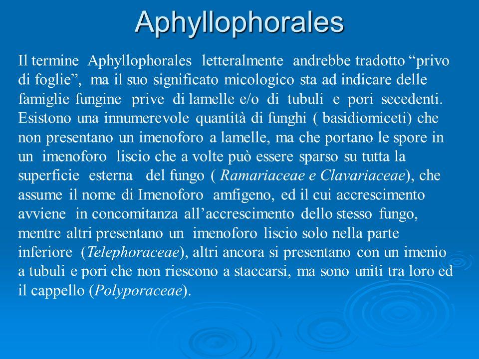 Il termine Aphyllophorales letteralmente andrebbe tradotto privo di foglie, ma il suo significato micologico sta ad indicare delle famiglie fungine pr