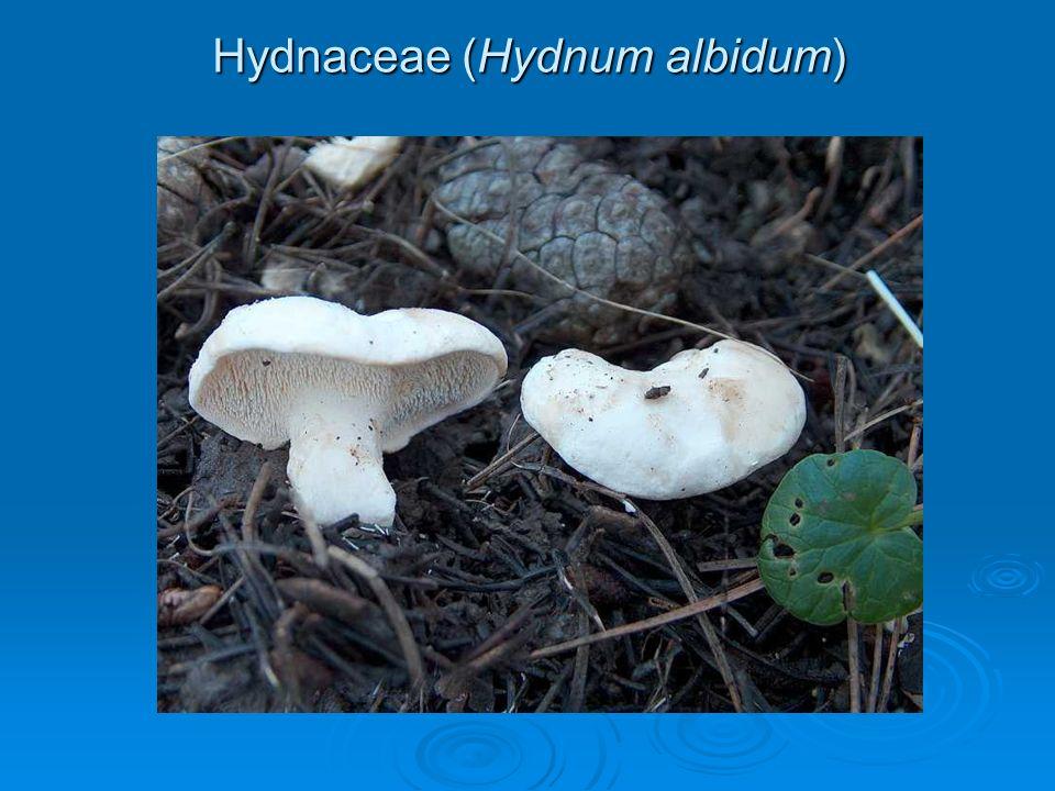Hydnaceae (Hydnum albidum)