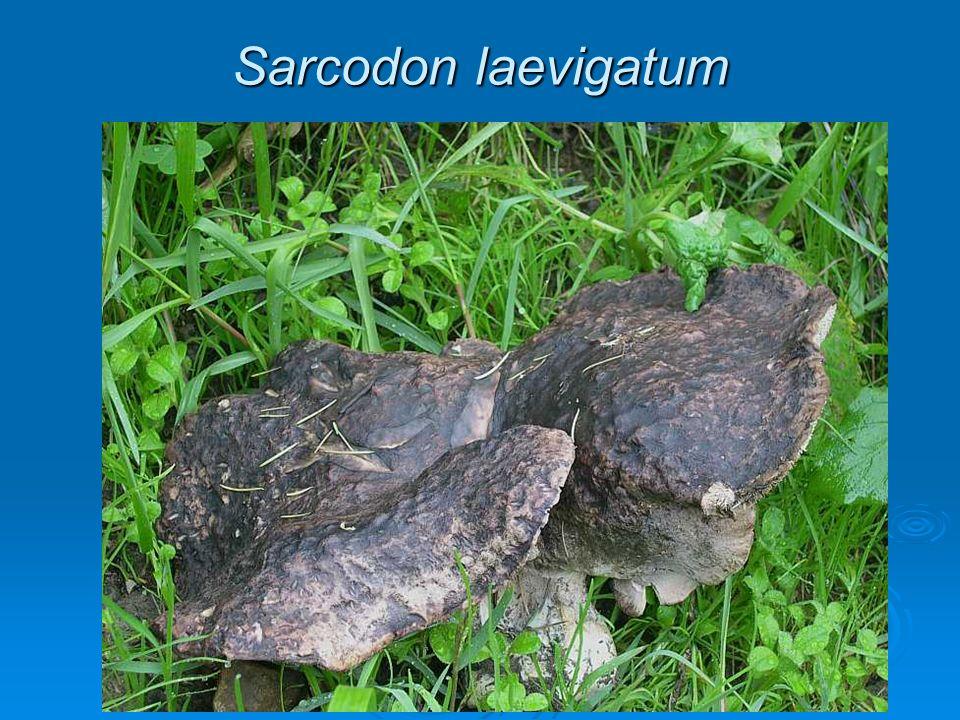 Sarcodon laevigatum