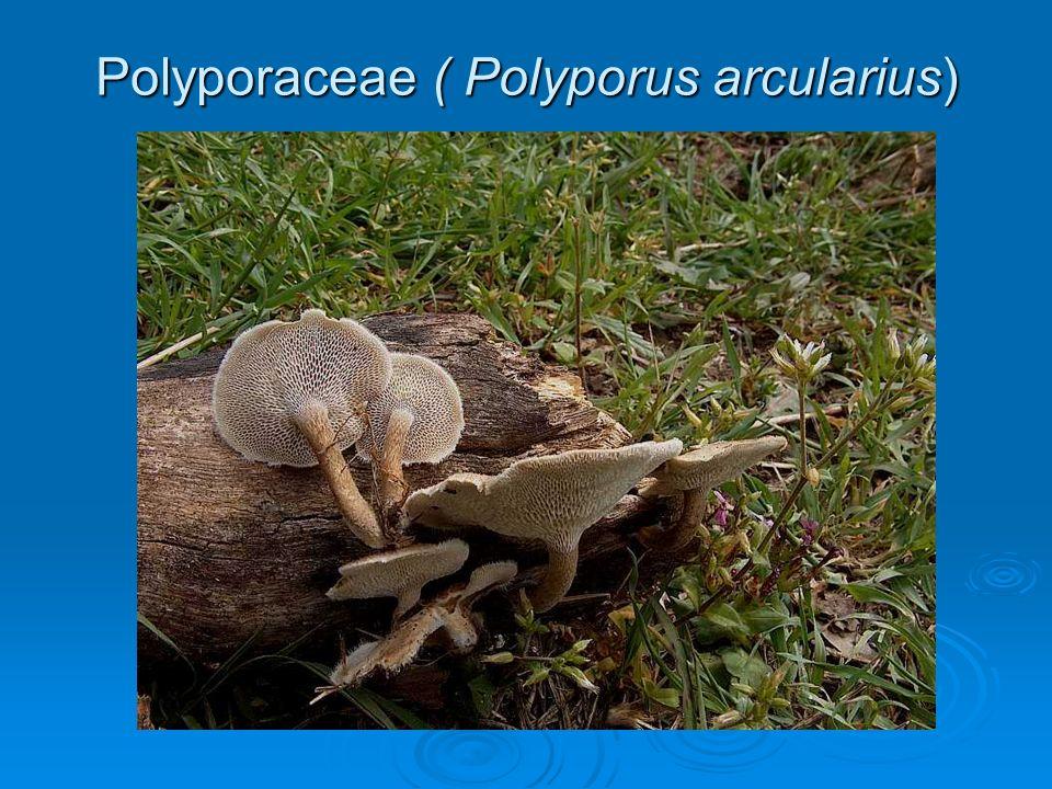 Polyporaceae ( Polyporus arcularius)