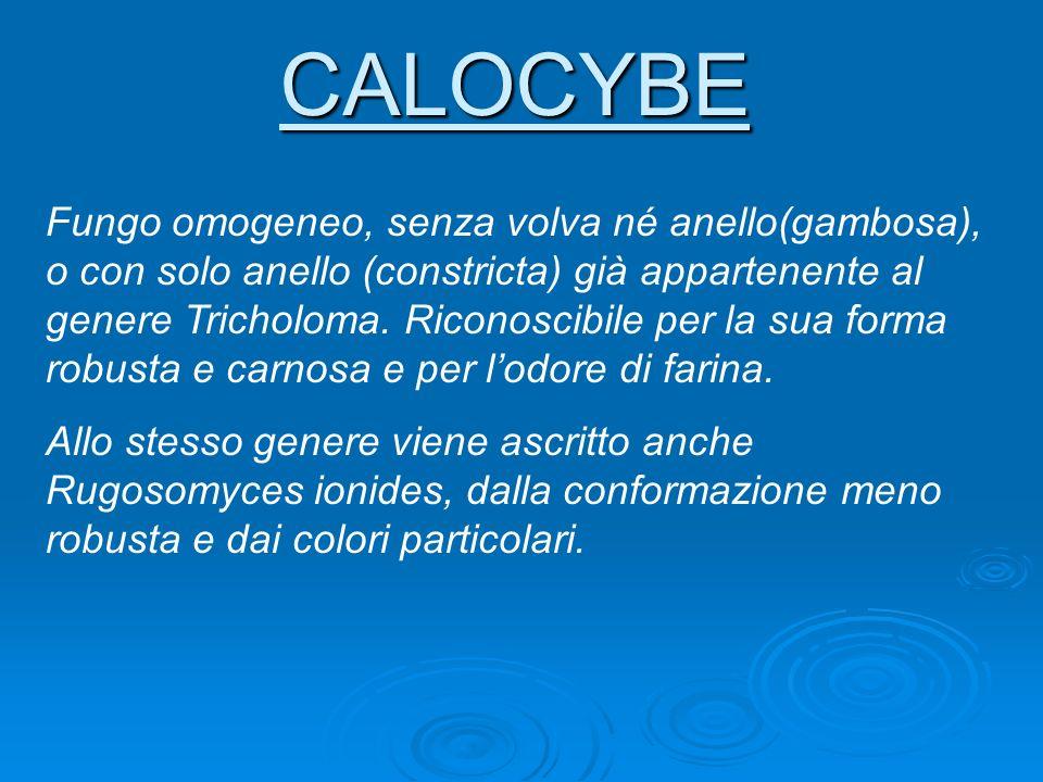 CALOCYBE Fungo omogeneo, senza volva né anello(gambosa), o con solo anello (constricta) già appartenente al genere Tricholoma. Riconoscibile per la su