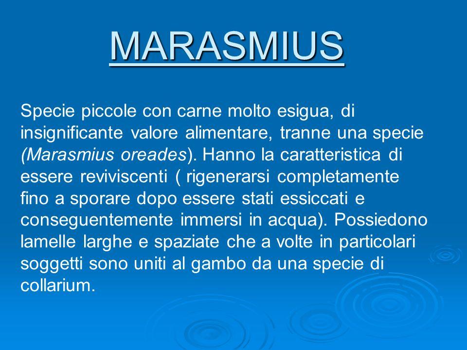 MARASMIUS Specie piccole con carne molto esigua, di insignificante valore alimentare, tranne una specie (Marasmius oreades). Hanno la caratteristica d