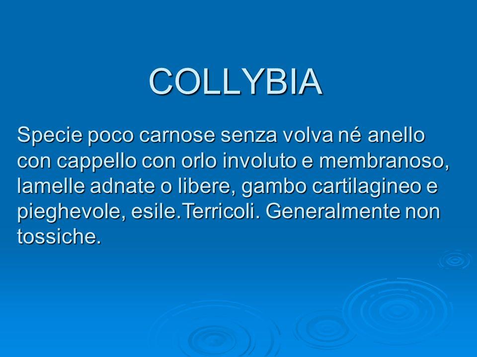 COLLYBIA Specie poco carnose senza volva né anello con cappello con orlo involuto e membranoso, lamelle adnate o libere, gambo cartilagineo e pieghevo