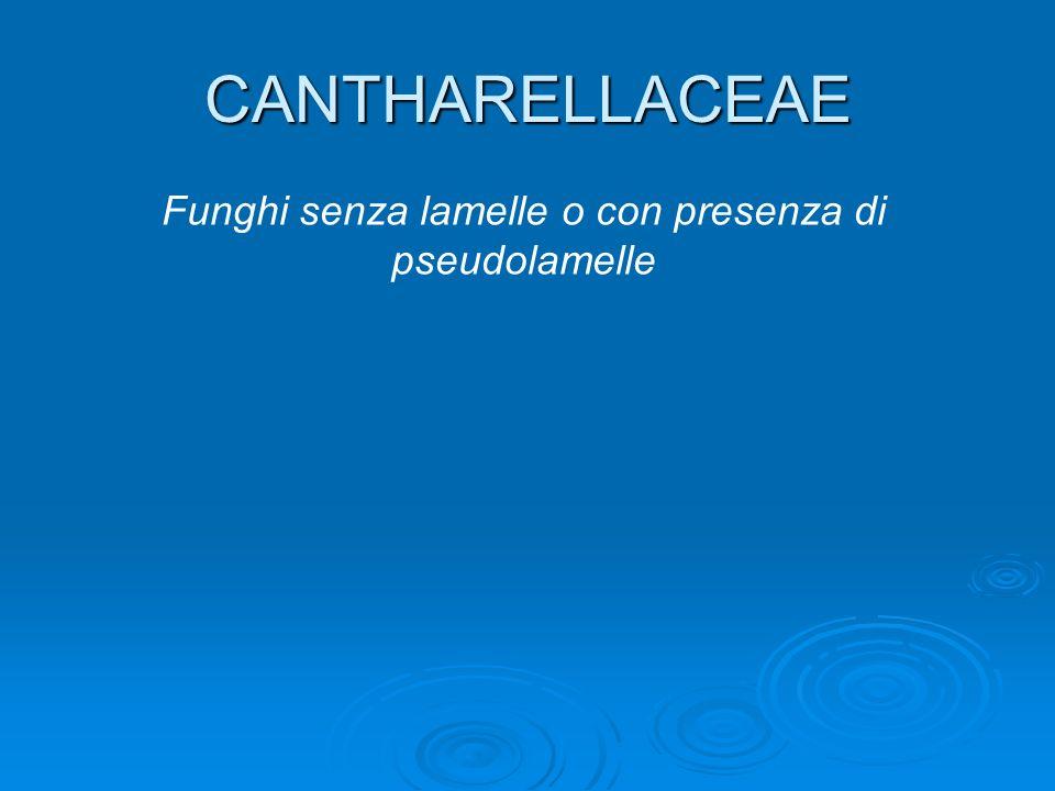 CANTHARELLACEAE Funghi senza lamelle o con presenza di pseudolamelle