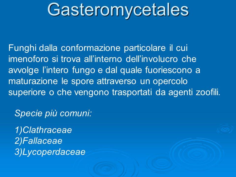 Gasteromycetales Funghi dalla conformazione particolare il cui imenoforo si trova allinterno dellinvolucro che avvolge lintero fungo e dal quale fuori