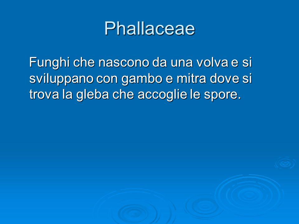 Phallaceae Funghi che nascono da una volva e si sviluppano con gambo e mitra dove si trova la gleba che accoglie le spore. Funghi che nascono da una v