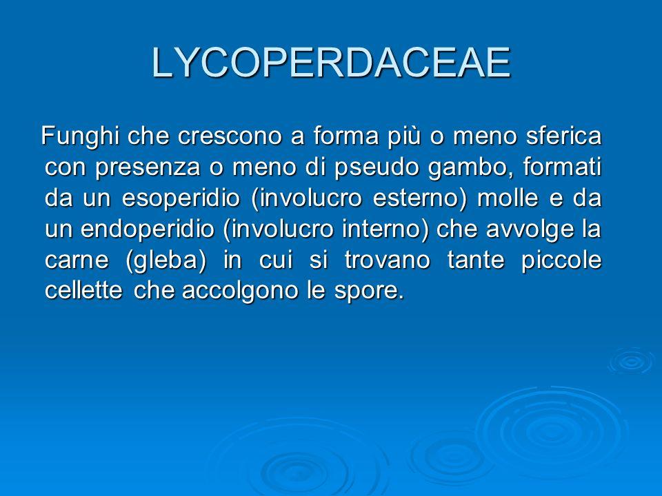 LYCOPERDACEAE Funghi che crescono a forma più o meno sferica con presenza o meno di pseudo gambo, formati da un esoperidio (involucro esterno) molle e