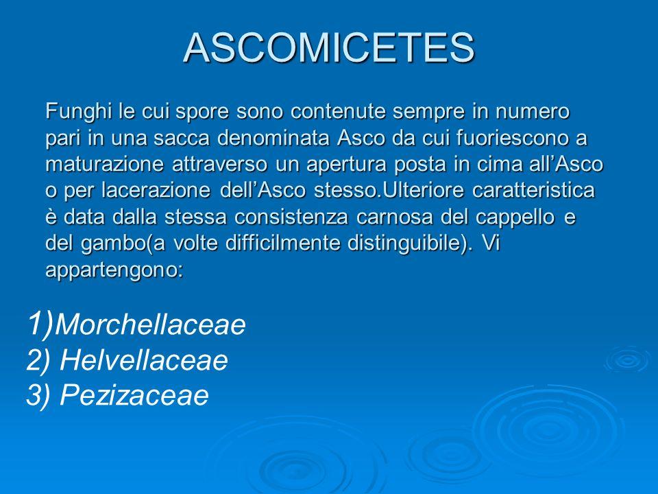 1) Morchellaceae 2) Helvellaceae 3) Pezizaceae Funghi le cui spore sono contenute sempre in numero pari in una sacca denominata Asco da cui fuoriescon