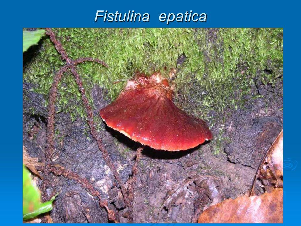 IDNACEAE Funghi con imenoforo ad aculei