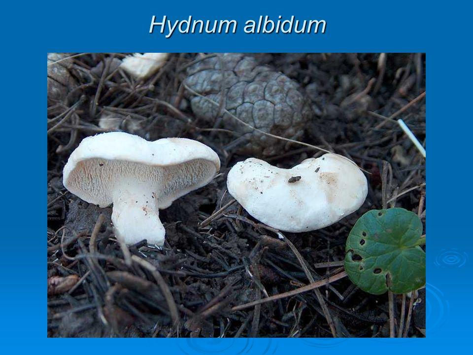 Hydnum albidum